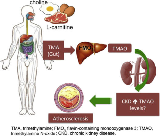 Trimethylamine N-Oxide From Gut Microbiota in Chronic Kidney Disease Patients: Focus on Diet ...
